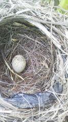 ぶどうの木に鳥が巣をつくりました。