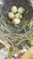 7月10日卵が5つに増えていました。