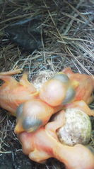 7月24日 鳥の雛が孵りました。鳥はモズ