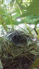 モズの雛が巣立ちました。 8月7日